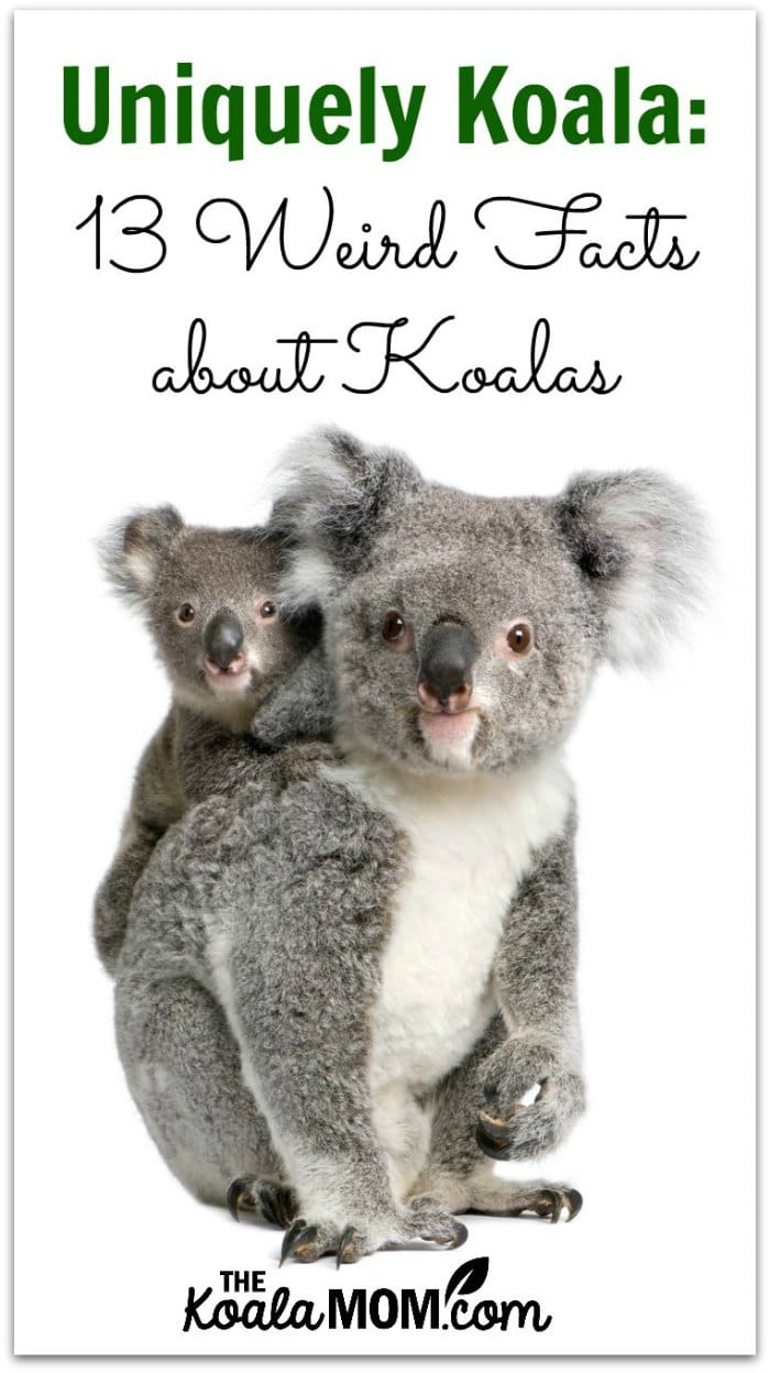 Uniquely Koala: 13 Weird Facts about Koalas