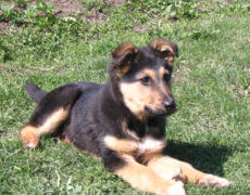 German-Sheprador-Dog-Puppy-230x180