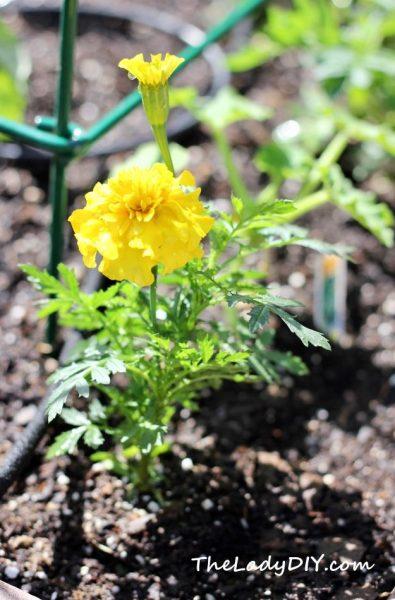 Marigold_Bonanza Yellow