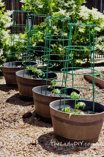 Tomatoes_container gardening