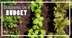 Gardening on a Budget: How to Buy & Care For Mums!