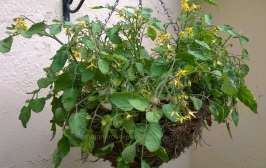 Bush variety in home made hanging basket