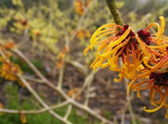 Orange Witch Hazel with a Lemon variety in the background
