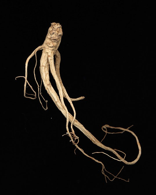 "A ginseng photo part of the series ""Ginseng Root Studies"". 