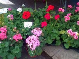 Geraniums Nice Market