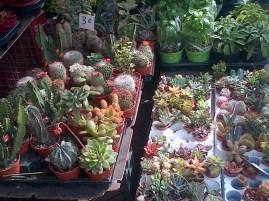 Nice Market - succulents