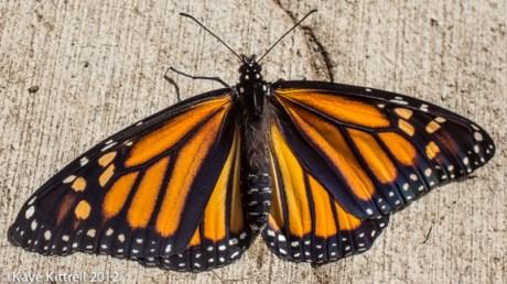 kk_lb-monarch-emerges-119