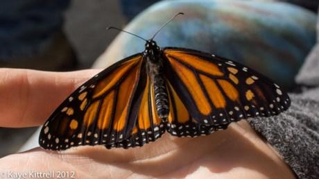 kk_lb-monarch-emerges-93