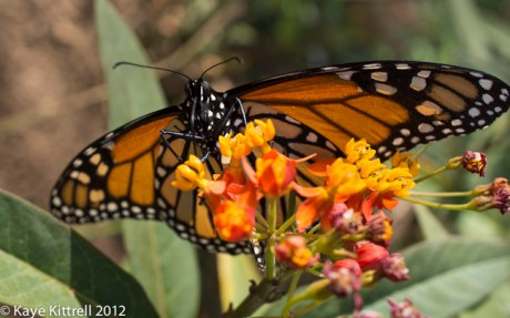Monarch Butterfly by Kaye Kittrell