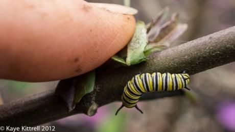 Fourth Instar Monarch Caterpillar