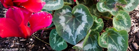 Heart-shaped Cyclamen Leaf