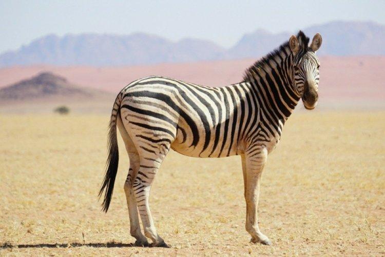 Zebra in Namibia's NamibRand Nature Reserve