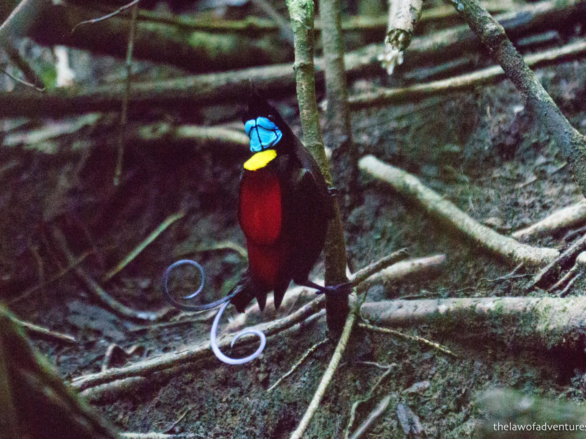 Wilson's Bird of Paradise, Raja Ampat, Indonesia