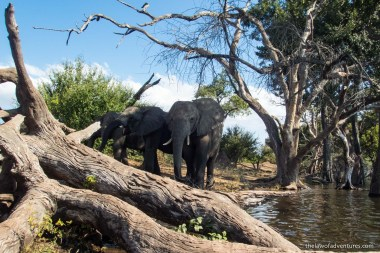 Elephants at the Chobe Riverfront
