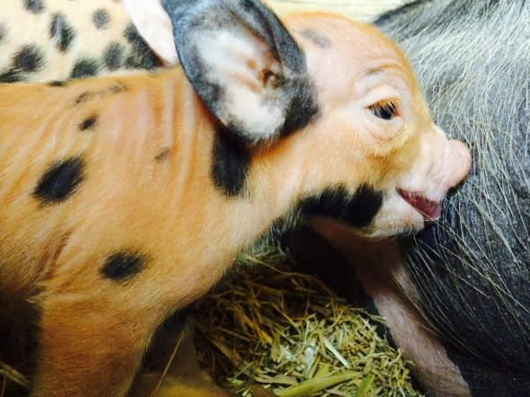 nursing piglet