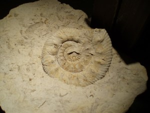 Ammonite from France