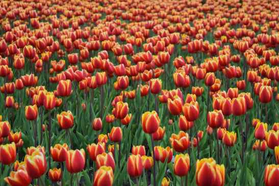 photo of red tulip field
