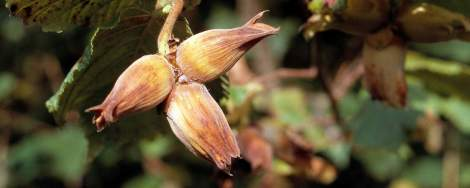 Cobnuts ripening on the tree