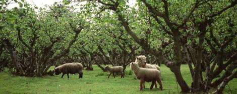 A Kentish plat, or cobnut orchard