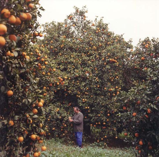 Harvesting Seville oranges at Ave Maria Farm
