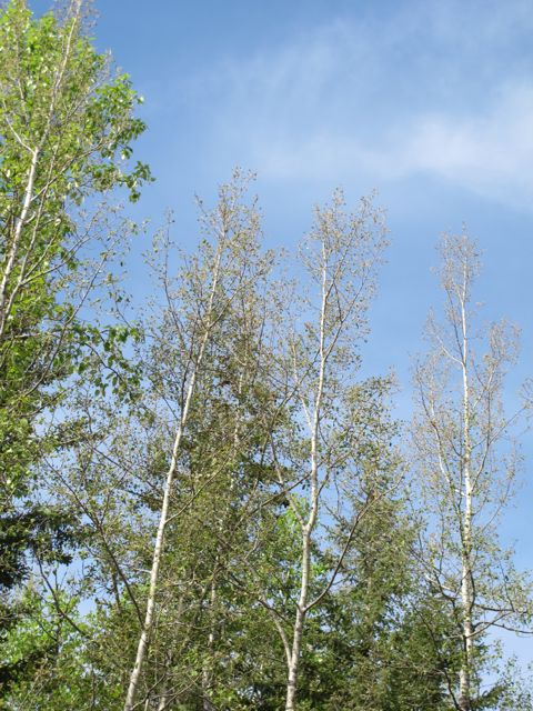 Aspen defoliated by caterpillars of the Large Aspen Tortrix. The other leafy trees are balsam poplar which are mostly unaffected.