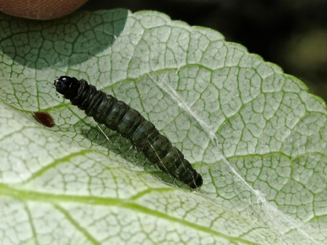 Tortrix larva beginning to spin silk on a poplar leaf in readiness for the next stage in its life cycle.
