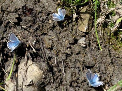 Puddling on mud and manure