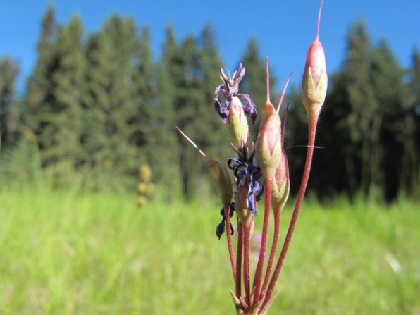 Shooting star — seed pods grow upright