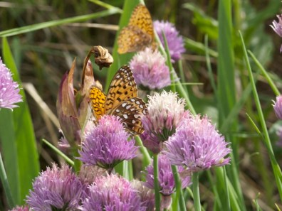 Nectaring on chives