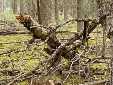 Deadfall in the forest