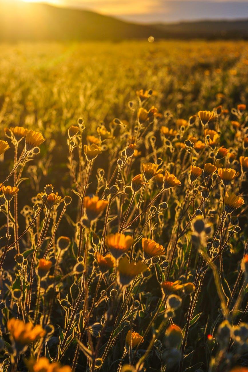 bed of california poppy flower