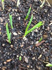 Garlic cloves sprouting!