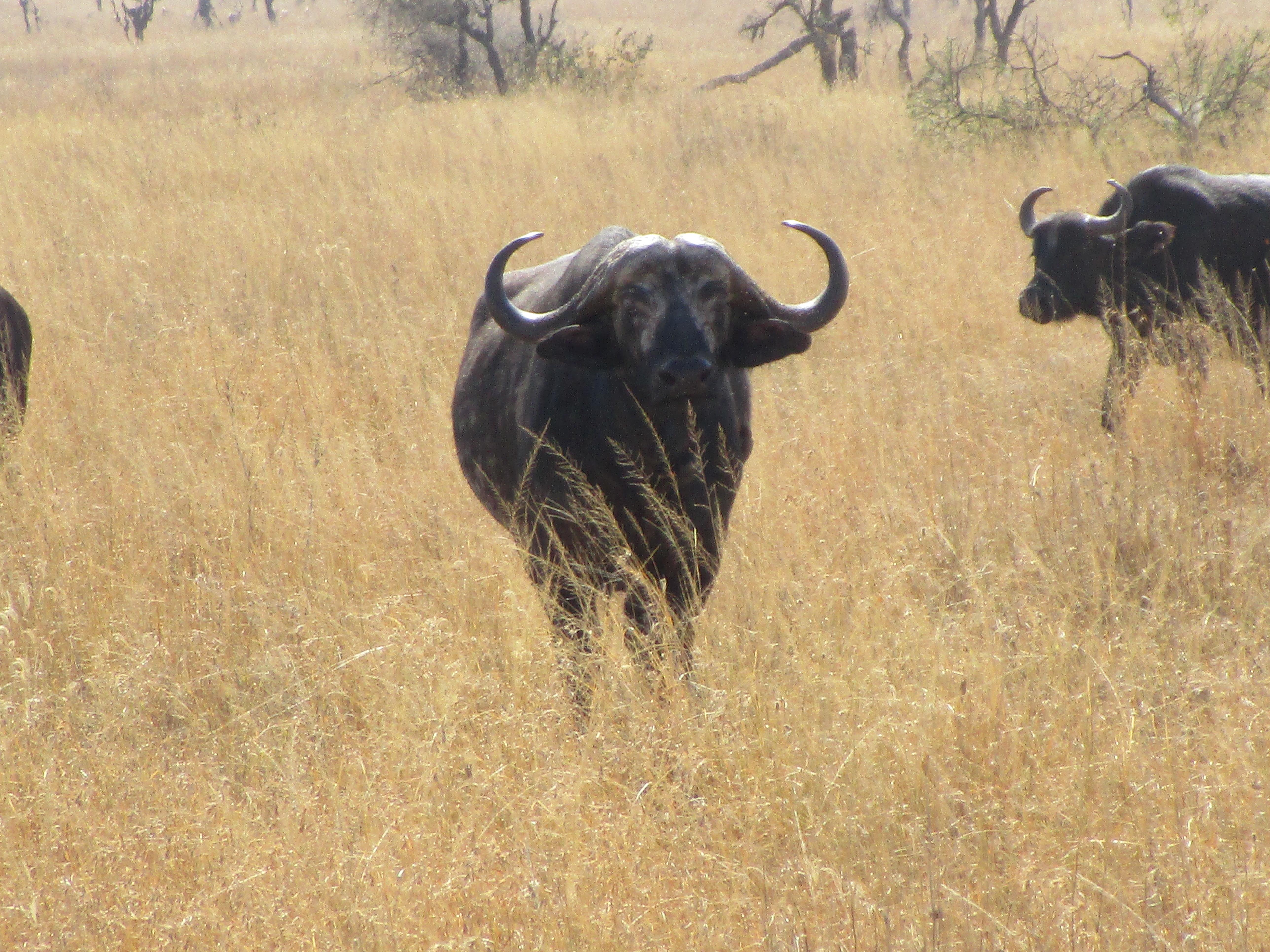 Water Buffalo Serengeti National Park
