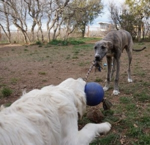Zuzu loves to play with other dogsand to play tug!