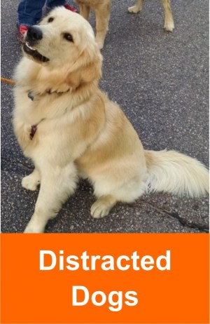 distracted_dogs