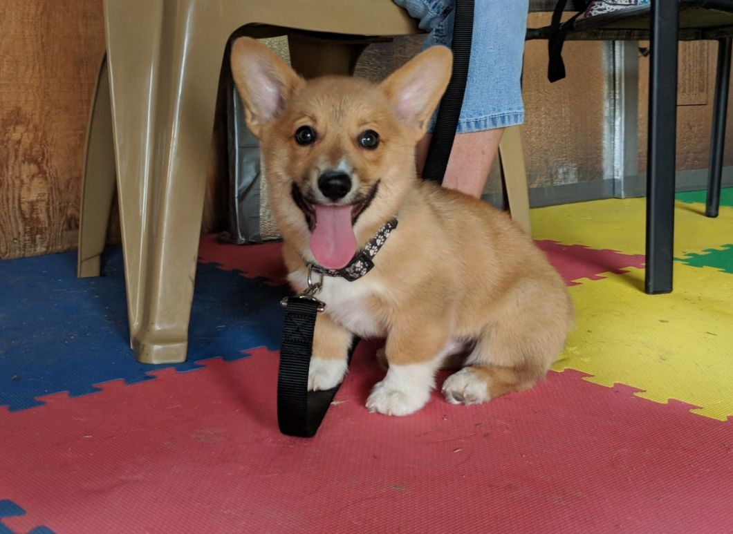 Clicker training with a Corgi puppy