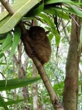 Tarsier Monkeys in Bohol