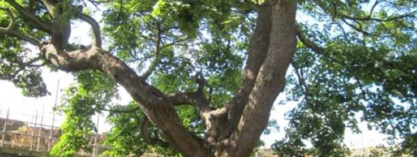castle_lucy_tower_tree_2