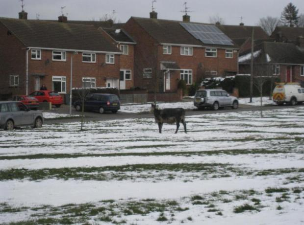The cow was shot dead in the grounds of Belton Lane Community Primary School in Grantham.