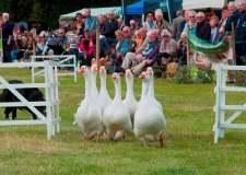 Collingham-Ducks-2013