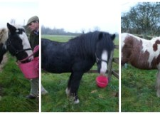 The three male horses were reported stolen on February 20. Photo: Bransby Horses