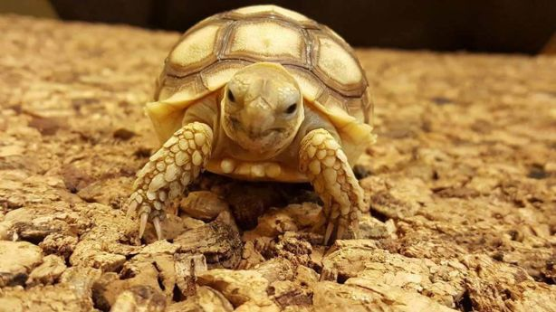 One of the tortoises that was stolen from the Lincoln Reptile & Pet Centre