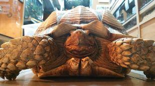 Sulcata tortoise. Photo: Lincoln Reptile and Pet Centre