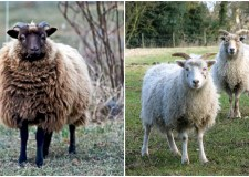 All females in the distinctive group of sheep were in lamb.