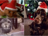 Your pictures: Festive Christmas pets – part one