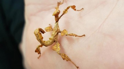 giant prickly stick insect. Photo: Lincoln Reptile and Pet Centre