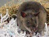 Camilla the escape artist rat baffles college staff in Lincoln
