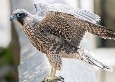 Watch baby Peregrine Falcons take flight