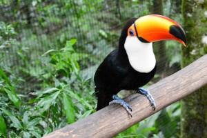 A toucan in Park Das Aves (bird sanctuary) in Brazil.