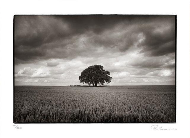 Tree in cornfield